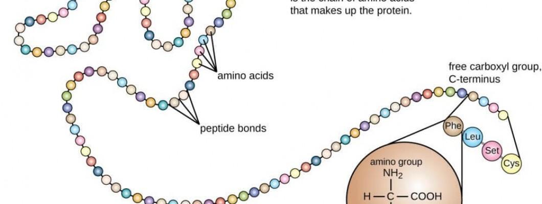 Πως συντίθενται οι πρωτεΐνες - Ο ρόλος των αμινοξέων